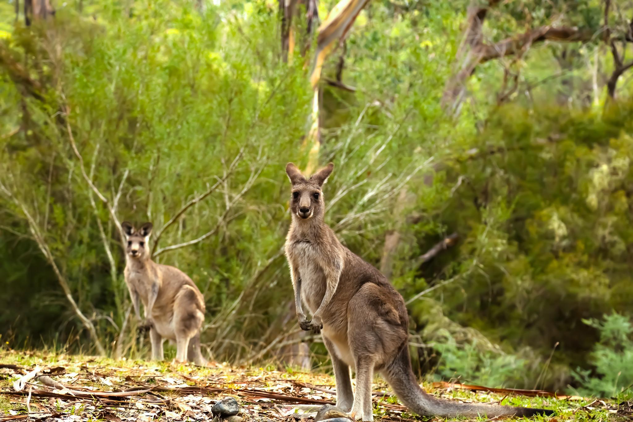 Kangaroo 2-2